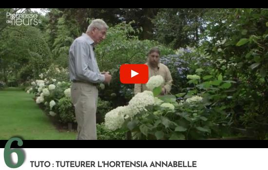 Tuto : tuteurer l'hortensia Annabelle